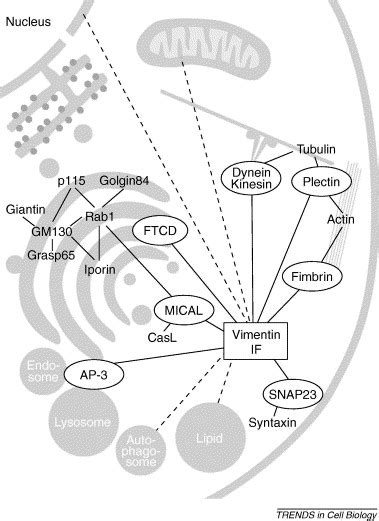 4 proteins associated with myofibrils cellular integrity plus organelle related and protein