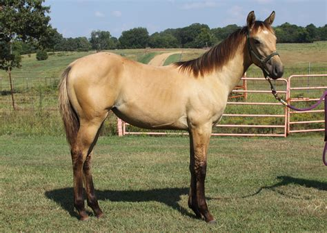 for sale horses equine lessons continue at msu horse auction mississippi