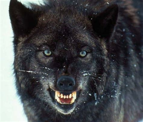 abi05's profile Growling Black Wolf With Yellow Eyes