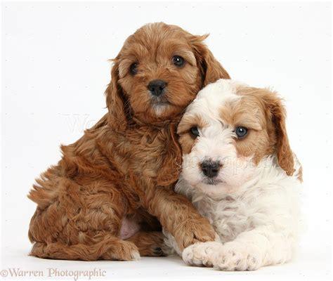 puppies hugging dogs cavapoo puppies hugging photo wp39387