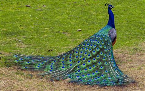 wallpaper blue peacock blue peacock high definition wallpapers free download
