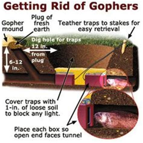 diy friendly gopher vole and mouse traps for your