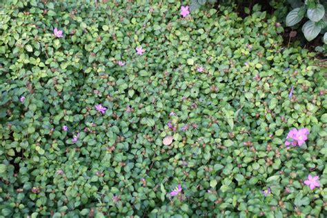 Home Flower dissotis rotundifolia images useful tropical plants
