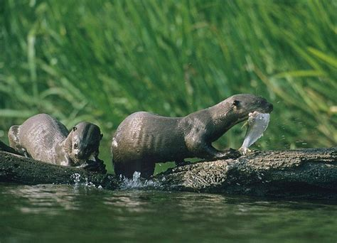 amazon river animals 31 best images about giant river otter on pinterest