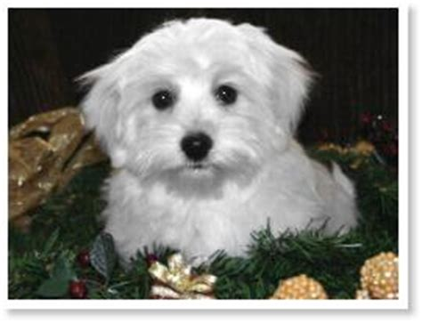 havanese color change the of havanese colors by cornerstone