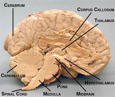 midsagittal section of human brain a midsagittal view of the human brain with several