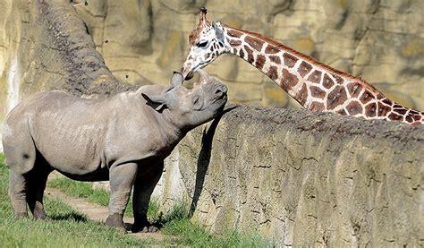 imagenes de amor jirafas conoce el amor prohibido de una jirafa y un rinoceronte