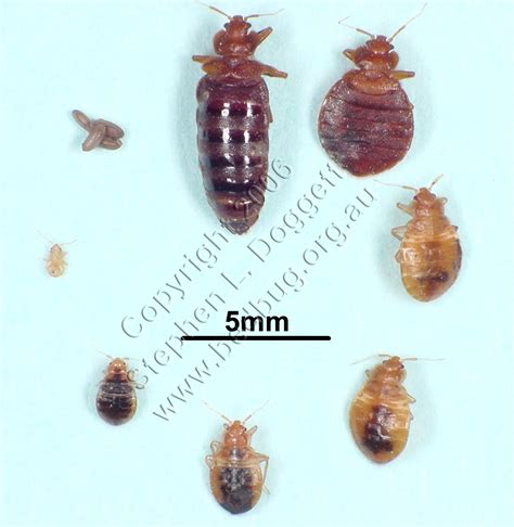 how big can a bed bug get bed bug images