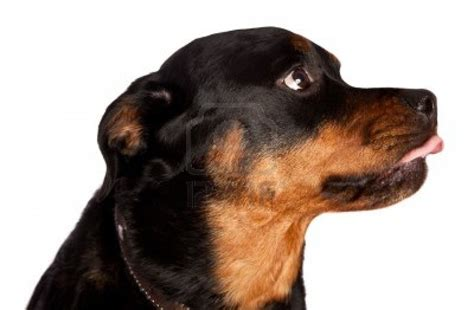 dogs rottweiler miniature dachshund pitbull mix breeds picture