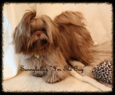 liver shih tzu puppies sunnybelle shih tzus specializing in akc chocolate liver shih tzus with chion