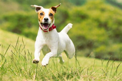 imagenes perros jack russell terrier jack russell terrier escaparatedemascotas