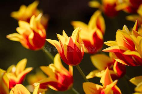 fiori di primavera da giardino fiori e gialli dei tulipani nel letto di fiore