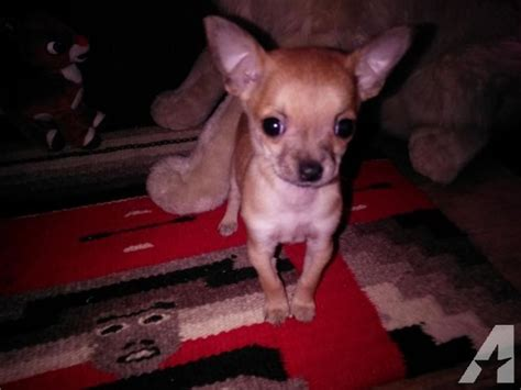 chihuahua puppies rescue teacup chihuahua puppies for adoption breeds picture