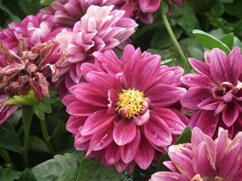 Flowers Images - file dahlia from lalbagh flower show august 2012 4621 jpg