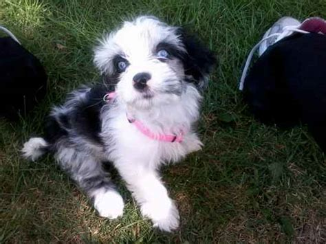 papillon cross shih tzu 35 shih tzu cross breeds you to see to believe