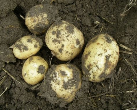 how to grow potatoes at home the easy way gardening