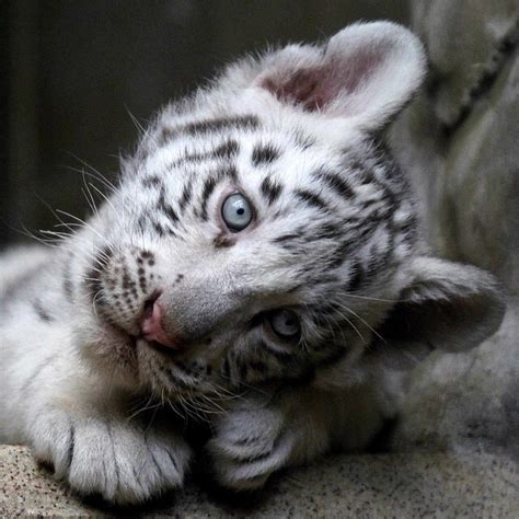 baby white tiger cubs 1000 ideas about siberian tiger on tigers