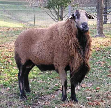 Types Of Hair Sheep by Guide To Sheep Breeds