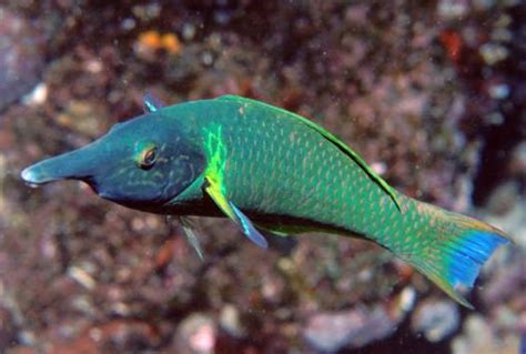 green bird wrasse flickr photo sharing green bird wrasse gomphosus varius saltwater fish for sale