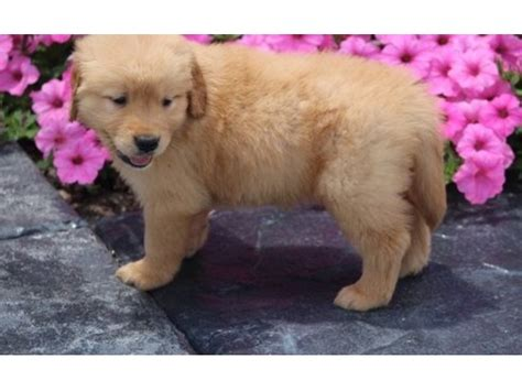 golden retriever breeders in sc golden retriever puppies for sale animals johnsonville south carolina