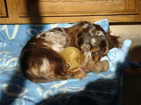 how much puppies sleep can t believe how much puppies sleep facts and pics ponderosa dachshunds
