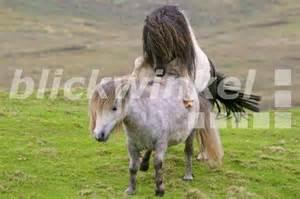 Schottland shetland inseln shetland pony equus przewalskii f