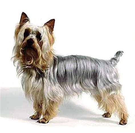 silky terrier with haircut 1000 images about silky terrier haircuts on pinterest a