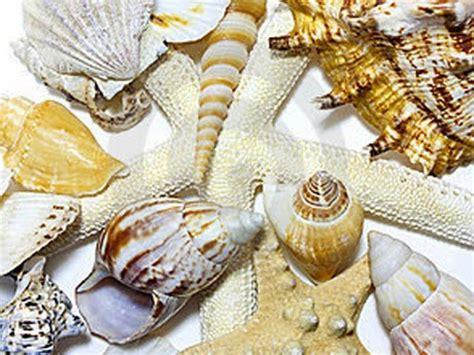 Cangkang Kerang Kepala Kambing mengenal dunia kerang dan bintang laut dunia afrina