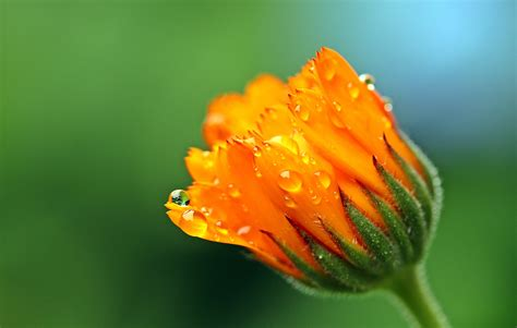 marigold  ultra hd wallpaper background image
