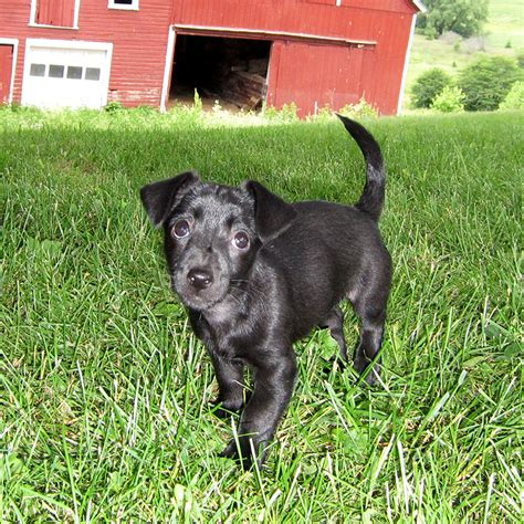 volhard puppy aptitude test puppies for sale 2