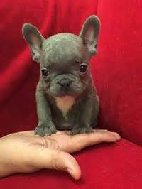 pocket puppies chicago puppy mill dogs bad gifts for s day or any other day
