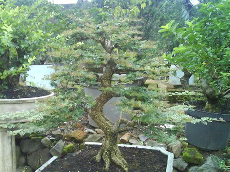 Bakalan Bonsai Lohansung bonsai bambang