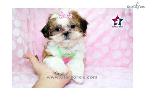 imperial shih tzu puppies for sale los angeles teacup shih tzu for sale in los angeles breeds picture