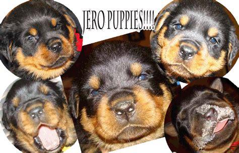 dew claws rottweiler ballardhaus rottweilers rottweiler breeders rottweiler puppies german
