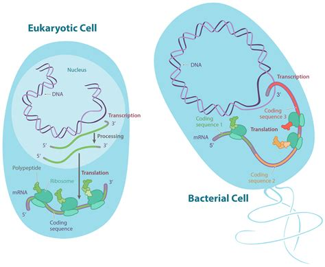 where in a eukaryotic cell does translation occur 2017 04 24 biology gentetic poster assignment 1 biology