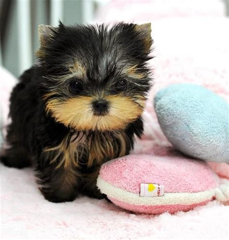 how much are teacup dogs 25 best ideas about teacup puppies on teacup dogs cutest small dogs and