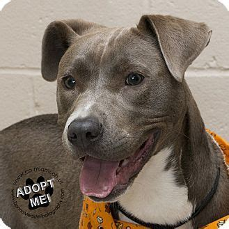 pitbull puppies for adoption in ohio 1000 ideas about terrier mix on dogs for adoption pit bull mix and my animal