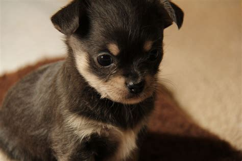 shih tzu chihuahua prices chihuahua shih tzu puppies for sale breeds picture