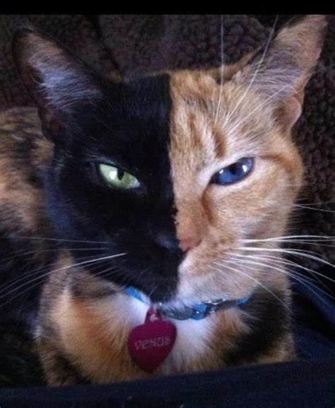 twin cats pretty kitty chimera cat is its own fraternal twin