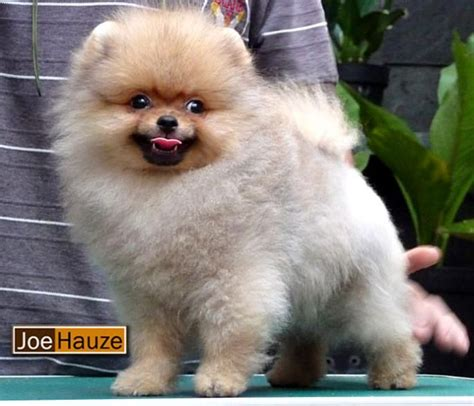 pomeranian chow mix puppies chow chow pomeranian mix oh my gosh give me this animals chow
