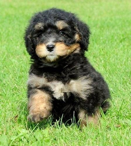 bernedoodle puppy bernedoodle info temperament diet puppies pictures