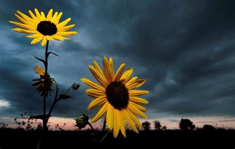kansas sunflower 50 state flowers 1 pinterest 37 best ideas about grinter s sunflower farm on pinterest