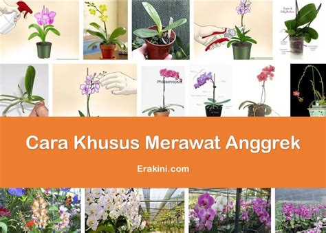 Cara Merawat Tanaman Anggrek cara merawat bunga anggrek agar rajin berbunga dengan