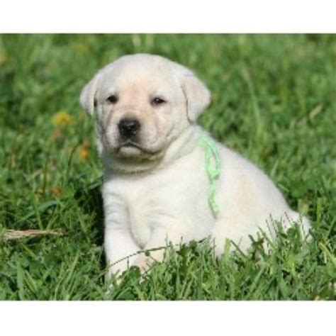 lab puppies sc labrador retriever lab breeders in south carolina freedoglistings breeds picture