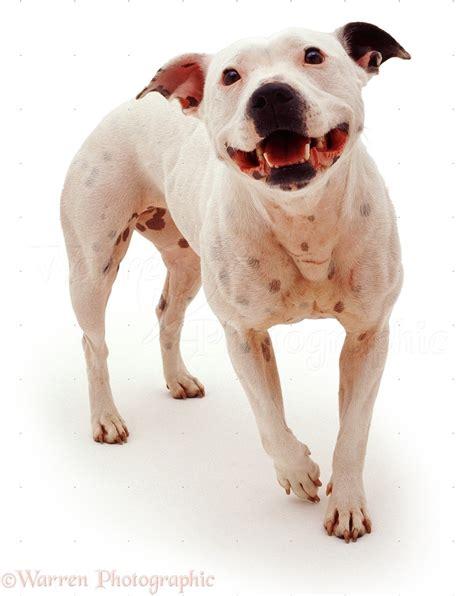 Dog: Staffordshire Bull Terrier photo WP05343
