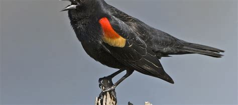 exemption granted for corn seed bird repellent