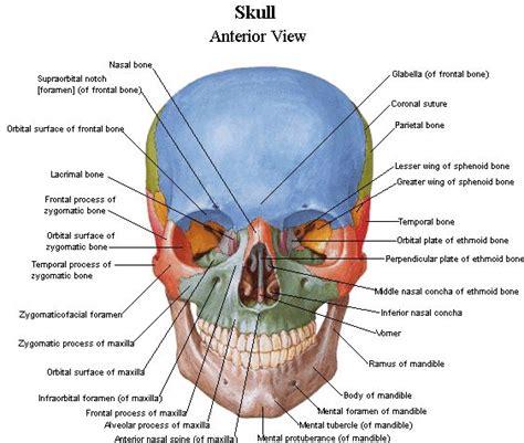 skull anatomy skull anatomy anterior view search nervous system skull