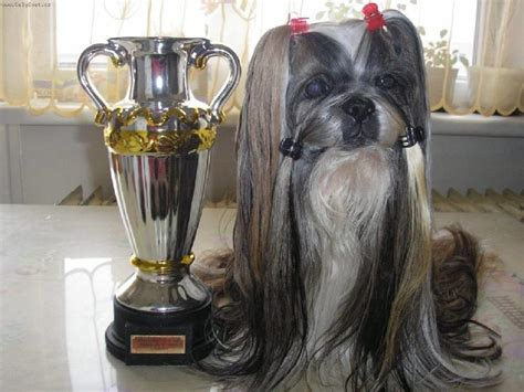 how does a shih tzu live average lifespan of shih tzu 1001doggy