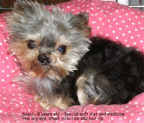 yorkie eye infection hola paco qu tal paco s reward flyer from when he was stolen
