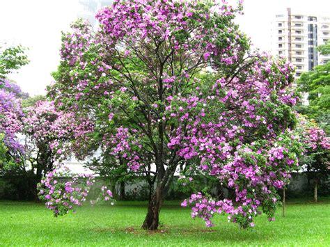 jardimverde 193 rvore pata de vaca